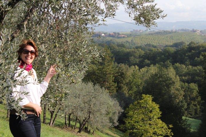 Milhares de Oliveiras Carregadas de Azeitonas na Toscana
